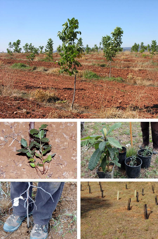 Plantació a Sant Pere de Ribes dels 5 arbres patrocinats per La Page: 1 nesprer, 1 ginjoler i 3 alzines.